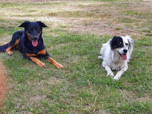 2 chiens couchés, un beauceron noir et eu et un setter anglaus blanc avec la tete à moitié noire